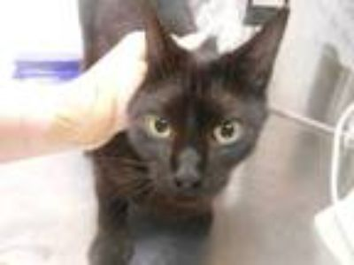 Adopt Juniper a All Black Domestic Shorthair / Domestic Shorthair / Mixed cat in