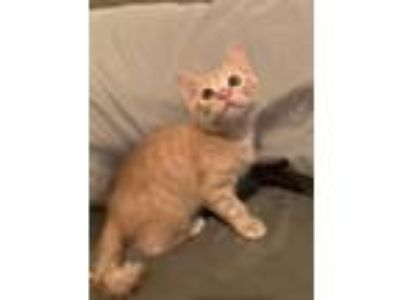 Adopt Maggie a Orange or Red Tabby Domestic Shorthair (short coat) cat in