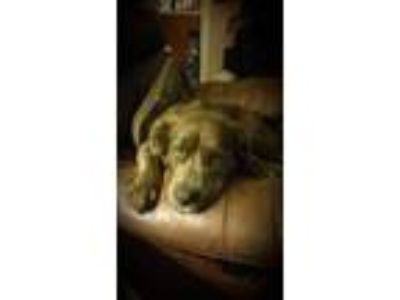 Adopt Blue a Brindle Australian Shepherd / Labrador Retriever dog in