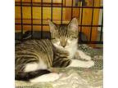Adopt Spencer a Tiger Striped Domestic Shorthair (short coat) cat in Cherry