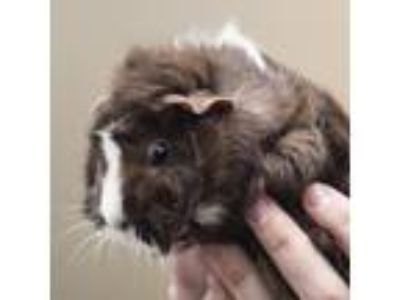 Adopt Moose a Guinea Pig small animal in Middletown, RI (25820524)