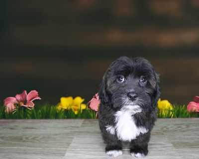 Loki is a sweet little Teddipoo! www.PuppiesForSaleToday.com