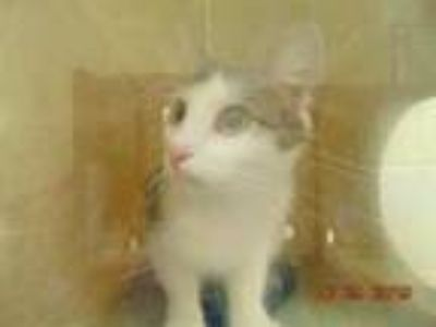 Adopt SHADOW a Brown Tabby Domestic Shorthair / Mixed (short coat) cat in