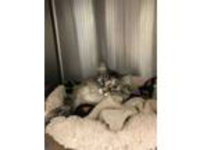 Adopt Nora a Gray or Blue Domestic Longhair (long coat) cat in Meridian