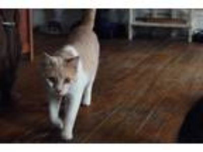 Adopt basil a Orange or Red Domestic Shorthair (short coat) cat in Cumberland