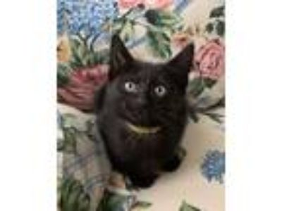 Adopt Belle - yellow a Domestic Short Hair