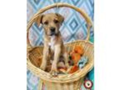 Adopt Jude - Fee $175 a Tan/Yellow/Fawn - with White Golden Retriever / Mixed