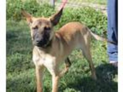 Adopt Lola a Tan/Yellow/Fawn - with Black Shepherd (Unknown Type) / Mixed dog in