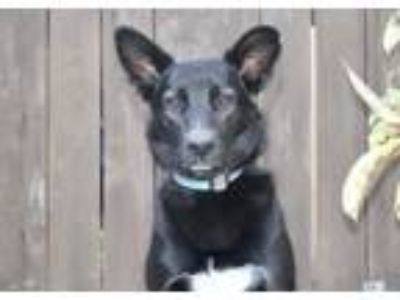Adopt Westerly a Black - with White Shepherd (Unknown Type) / Border Collie /