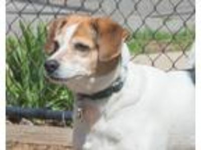 Adopt Cooch a Tricolor (Tan/Brown & Black & White) Beagle / Mixed dog in Elmwood