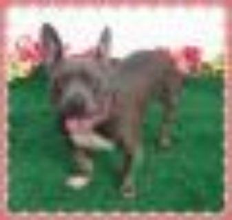 LEXI Pit Bull Terrier Dog