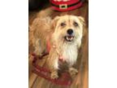 Adopt Maggie a Yorkshire Terrier, Wirehaired Terrier