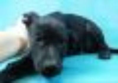 Winnie Pointer - Labrador Retriever Dog