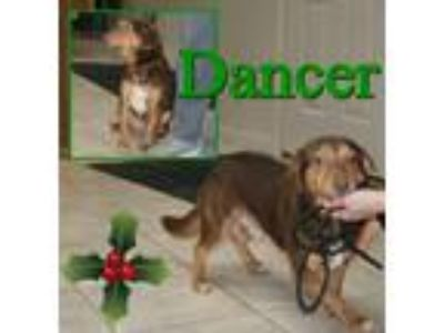 Adopt Dancer a Brown/Chocolate - with Tan Beagle / Dachshund / Mixed dog in