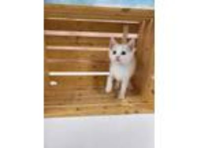 Adopt JOEY a White Domestic Shorthair / Domestic Shorthair / Mixed cat in
