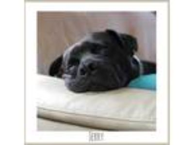 Adopt Jerry a Black - with Brown, Red, Golden, Orange or Chestnut Boxer /