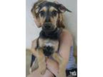 Adopt Florida a Black - with Tan, Yellow or Fawn Shepherd (Unknown Type) / Mixed