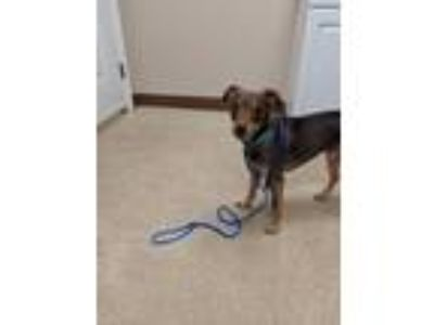Adopt Sam a Miniature Pinscher / Mixed dog in Mocksville, NC (25905037)