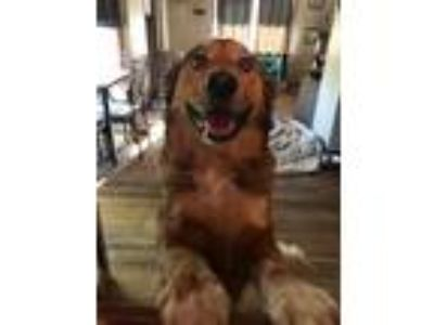 Adopt Billy a Black - with Brown, Red, Golden, Orange or Chestnut Collie / Mixed