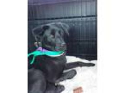 Adopt Odessa a Black Labrador Retriever / Mixed dog in Midlothian, VA (14598734)