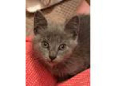 Adopt Fortune a Gray or Blue Domestic Shorthair / Domestic Shorthair / Mixed cat