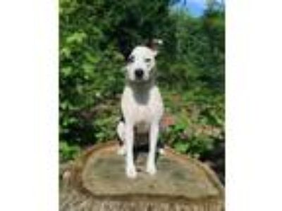 Adopt Daphne a White - with Black Border Collie / Mixed dog in Asheboro