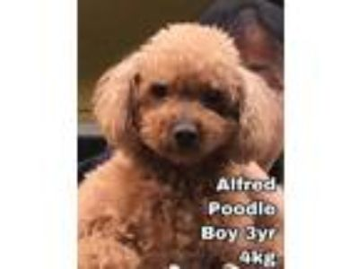 Adopt Alfred from Korea a Poodle