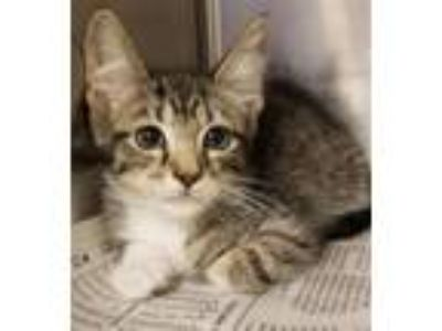 Adopt Jordan a Domestic Short Hair