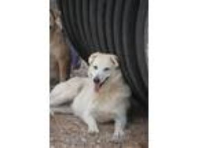 Adopt Secret a Tan/Yellow/Fawn - with Black Husky / Shepherd (Unknown Type) /