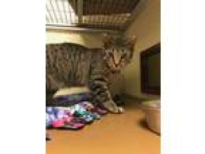 Adopt Fred a Brown or Chocolate Domestic Shorthair / Domestic Shorthair / Mixed