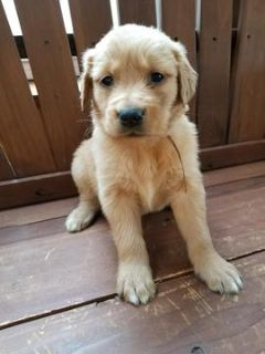 Golden Retriever PUPPY FOR SALE ADN-62973 - AKC golden retriever puppies