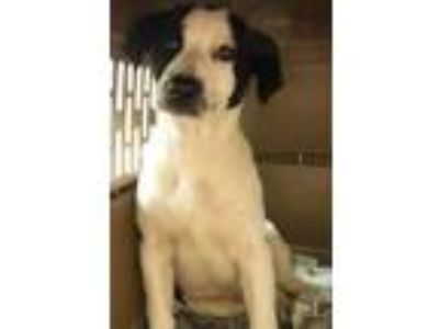 Adopt Leo a Labrador Retriever, Border Collie