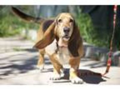 Adopt Lucy Lowrider a Tricolor (Tan/Brown & Black & White) Basset Hound / Mixed