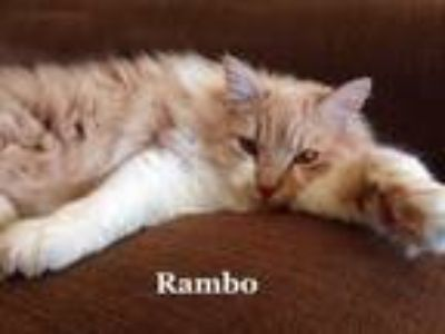 Adopt Rambo a Siberian, Domestic Long Hair