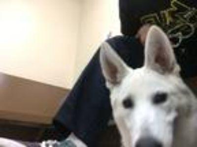 Adopt Luna a White German Shepherd Dog dog in Santa Ana, CA (25490917)