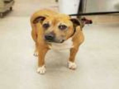 Adopt KANDY a Pit Bull Terrier