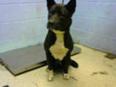 Adopt BLACK a Black - with White Akita / Mixed dog in Atlanta, GA (25593831)