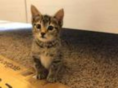 Adopt *GARNET a Brown Tabby Manx / Mixed (short coat) cat in Austin