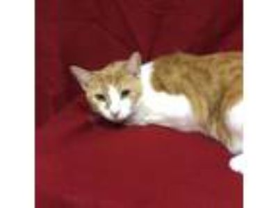 Adopt Joe a Orange or Red Domestic Shorthair / Domestic Shorthair / Mixed cat in