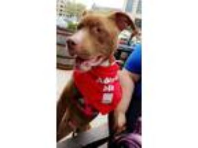 Adopt Aloha a Red/Golden/Orange/Chestnut - with White Pit Bull Terrier / Mixed