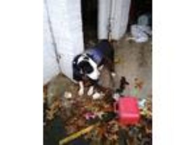 Adopt Orek a Black - with White Coonhound (Unknown Type) / Pug / Mixed dog in