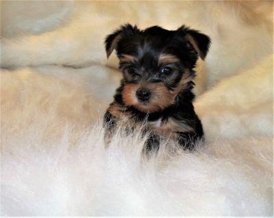 Yorkshire Terrier PUPPY FOR SALE ADN-54577 - Yorkie Puppies