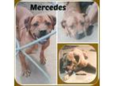 Adopt MERCEDES a Brown/Chocolate Rottweiler / Mixed dog in Malvern