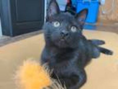 Adopt Gloria a All Black Domestic Shorthair (short coat) cat in Sullivan