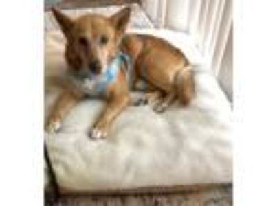 Adopt Larry David a Shepherd, Mixed Breed