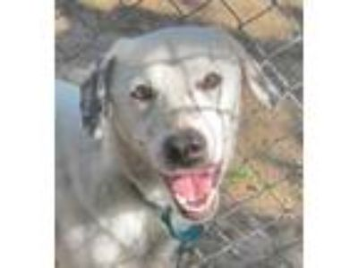 Adopt Pongo a Labrador Retriever, Australian Cattle Dog / Blue Heeler
