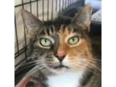 Adopt Mrs Cats a Calico or Dilute Calico Domestic Shorthair (short coat) cat in