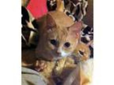 Adopt Shikitty (Blind) a Orange or Red Tabby Domestic Shorthair (short coat) cat