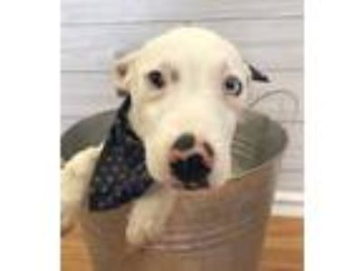 Adopt Topaz a Brown/Chocolate - with Black Black Mouth Cur / Labrador Retriever