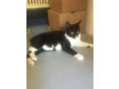 Adopt Olaf INDOOR ONLY a Manx, Domestic Short Hair